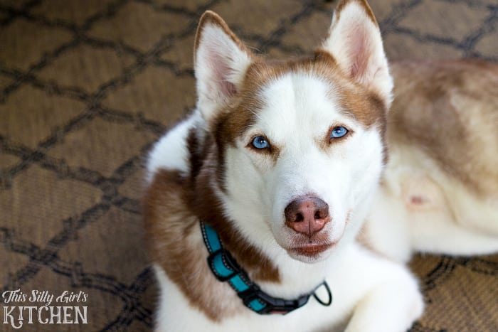 An update on Dakota the Red Siberian Husky, switching to Iams® dog food! #ad